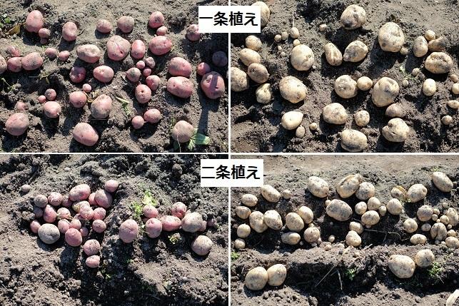 秋ジャガイモ収量差